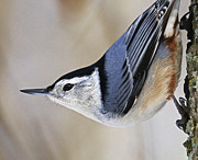 D300 Prints - Proud Nuthatch... Print by Nina Stavlund