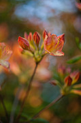 Rhododendron Photos - Proud Orange Blossoms by Mike Reid
