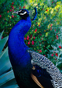 Proud Birds Acrylic Prints - Proud Peacock - Peacock Photos Acrylic Print by Laria Saunders