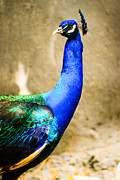Best Choice Framed Prints - Proud Peacock Framed Print by Syed Aqueel