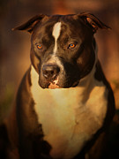 Dog Art - Proud Pit Bull by Larry Marshall