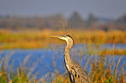 Gray Heron Framed Prints - Proud Profile Framed Print by Al Powell Photography USA