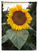 Cindy Collier Harris - Proud Sunflower