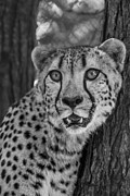 Cheetah Photo Originals - Prowl by William Keller