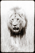 African Lion Art Framed Prints - Prowling For Prey Framed Print by Mike Gaudaur