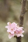 Plum Blossoms Prints - Prunus cerasifera Lindsayae Print by Anne Gilbert