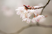 Winter Flower Photos - Prunus hirtipes by Anne Gilbert
