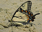 Yellow Insect Posters - Puddling Eastern Tiger Swallowtail Butterfly Poster by Lara Ellis