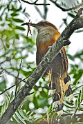Puerto Rico Originals - Puerto Rican Lizard-Cuckoo endemic by Alan Lenk