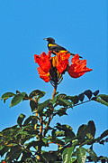 Oriole Originals - Puerto Rican Oriole endemic by Alan Lenk