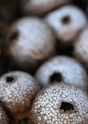 Round Fungi Photos - Puffballs by Jukka Palm