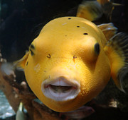 Puffer Poses Print by Refresh  Photography