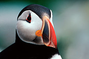Wild Birds Digital Art Originals - Puffin Head Shot by Jerry Fornarotto