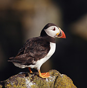 Seabird Metal Prints - Puffin on rock Metal Print by Grant Glendinning
