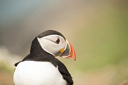 Atlantic Puffin Framed Prints - Puffin Profile Framed Print by Anne Gilbert
