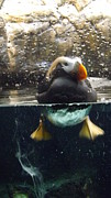 Kimberly-Ann Talbert - Puffin Swimmin