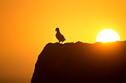 Giedrius Stakauskas - Puffin Who Loves Sunset