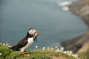 Eels Framed Prints - Puffin with Sandeels Framed Print by Anne Gilbert