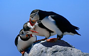 Marty Saccone - Puffins Discussin