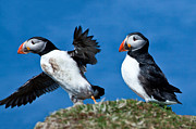Christy Woodrow - Puffins in the Scottish...