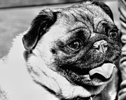 Don Mann - Pug in B W