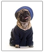 Clothes Framed Prints - Pug in sweater and hat Framed Print by Edward Fielding