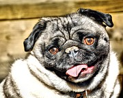 Don Mann - Pug Portrait