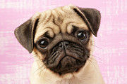 Pink Ears Prints - Pug Portrait Print by Greg Cuddiford