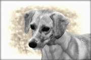 Puppy Digital Art Prints - Puggles Print by Bill Cannon