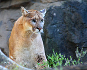 John Telfer Photography Photos - Puma On The Watch by John Telfer