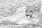 Cat Art Pyrography Prints - Puma  Print by Paul Pascal
