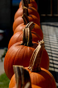 Harvesting Metal Prints - Pumpkins in a Row Metal Print by Amy Cicconi