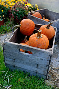 Gourd Photos - Pumpkins in Wooden Crates by Amy Cicconi