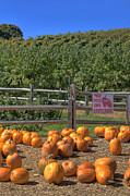 Autumn Scenes Photos - Pumpkins on the Farm by Joann Vitali