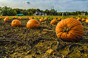 Medford Photos - Pumpkins Picking by Louis Dallara