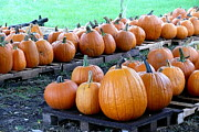 Farm Stand Art - Pumpkins Waiting by Betsy Cotton