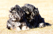 Puppy Photo Originals - Puppies Playing  by Tommy Hammarsten