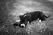 Mutt Photos - Puppy Eyes in Black and White by David Morefield