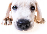 Baby Animal Photos - Puppy Face by Diane Diederich