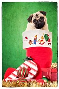Pug Photos - Puppy for Christmas by Edward Fielding