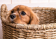 Dog Poster Framed Prints - Puppy in a laundry basket Framed Print by Edward Fielding