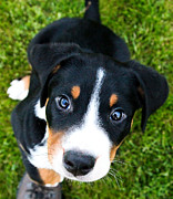 Greater Swiss Mountain Dog Prints - Puppy Love Print by Aaron Aldrich