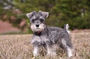 Mini Schnauzer Puppy Prints - Puppy Love Print by Brittany Gilbert