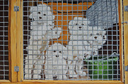 White Maltese Originals - puppy mill Maltese by Laura Bolle