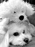Toy Maltese Prints - Puppy Puppy Print by Mary Beth Landis