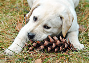 Cuddles Posters - Puppy with Pine Cone Poster by Lisa  Phillips