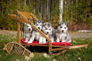 Fall Grass Posters - Pure-bred Siberian Husky Puppies In Poster by Jeff Schultz