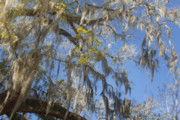 Oak Tree Metal Prints - Pure Florida - Spanish Moss Metal Print by Christine Till
