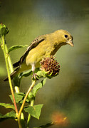 Finch Photos - Pure Gold  by Saija  Lehtonen