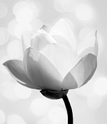 White Lotus Posters - Pure Poster by Photodream Art